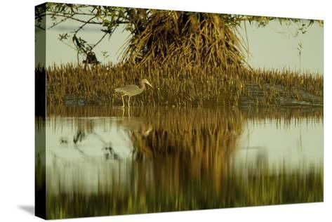 A Little Blue Heron Forages Underneath a Mangrove Tree in the Orinoco River Delta-Timothy Laman-Stretched Canvas Print