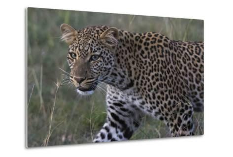 Portrait of a Leopard, Panthera Pardus, with Green Eyes at Dusk-Sergio Pitamitz-Metal Print