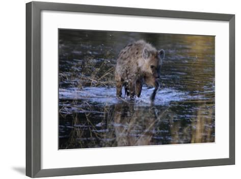Spotted Hyena Crossing Water, Upper Vumbura Plains, Botswana-Anne Keiser-Framed Art Print