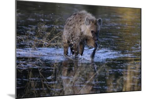 Spotted Hyena Crossing Water, Upper Vumbura Plains, Botswana-Anne Keiser-Mounted Photographic Print