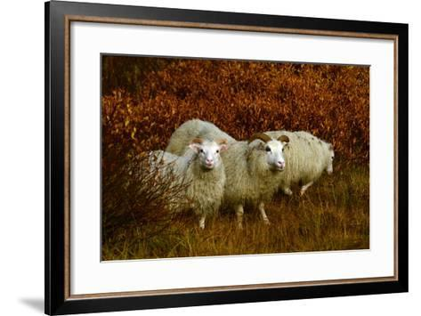 Icelandic Sheep, Ovis Aries, Among Fall Foliage in Thingvellir National Park-Raul Touzon-Framed Art Print