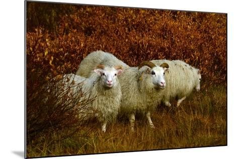 Icelandic Sheep, Ovis Aries, Among Fall Foliage in Thingvellir National Park-Raul Touzon-Mounted Photographic Print