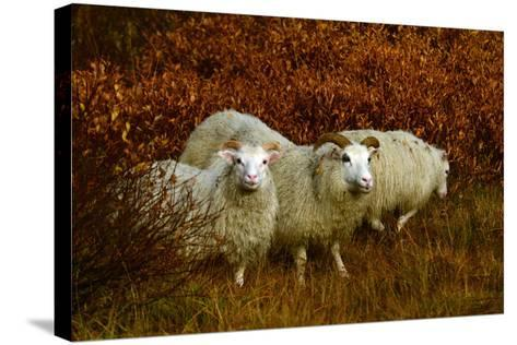 Icelandic Sheep, Ovis Aries, Among Fall Foliage in Thingvellir National Park-Raul Touzon-Stretched Canvas Print