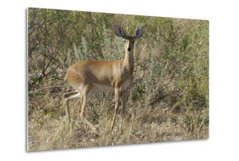 Impala, Upper Vumbura Plains, Botswana-Anne Keiser-Metal Print