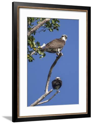 A Pair of Ospreys, Pandion Haliaetus, Perched on the Branch of a Tree-Kent Kobersteen-Framed Art Print