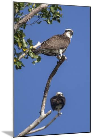 A Pair of Ospreys, Pandion Haliaetus, Perched on the Branch of a Tree-Kent Kobersteen-Mounted Photographic Print