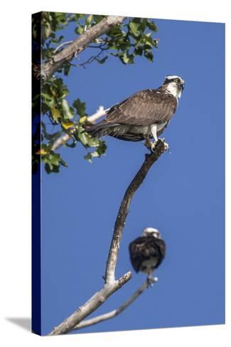 A Pair of Ospreys, Pandion Haliaetus, Perched on the Branch of a Tree-Kent Kobersteen-Stretched Canvas Print