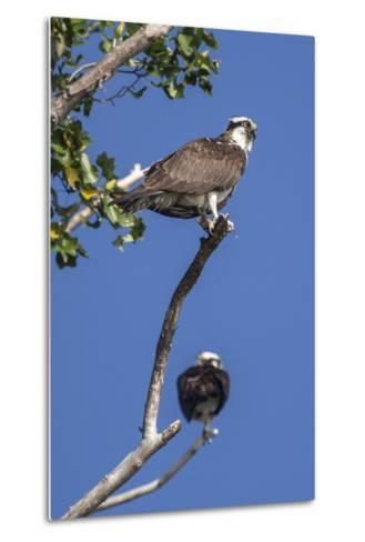 A Pair of Ospreys, Pandion Haliaetus, Perched on the Branch of a Tree-Kent Kobersteen-Metal Print