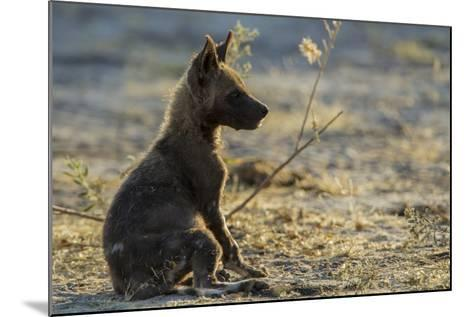 An African Wild Dog, Lycaon Pictus, Pup Sitting at Sunset-Beverly Joubert-Mounted Photographic Print