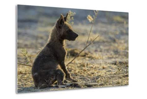 An African Wild Dog, Lycaon Pictus, Pup Sitting at Sunset-Beverly Joubert-Metal Print