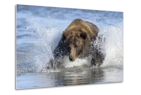 Brown Bear Fishing at Silver Salmon Creek Lodge in Lake Clark National Park-Charles Smith-Metal Print