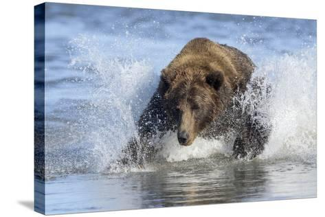 Brown Bear Fishing at Silver Salmon Creek Lodge in Lake Clark National Park-Charles Smith-Stretched Canvas Print
