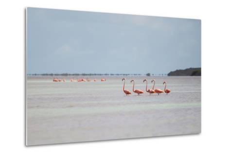 Pink American Flamingo Habitat at the Flamingo Salt Pond, Turks and Caicos-Mike Theiss-Metal Print