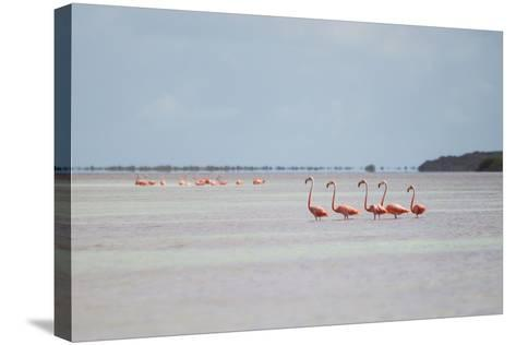 Pink American Flamingo Habitat at the Flamingo Salt Pond, Turks and Caicos-Mike Theiss-Stretched Canvas Print