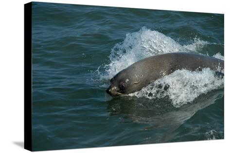 Cape Fur Seal in the Sea, Swakopmund Town, Namibia-Anne Keiser-Stretched Canvas Print