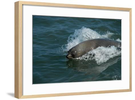 Cape Fur Seal in the Sea, Swakopmund Town, Namibia-Anne Keiser-Framed Art Print