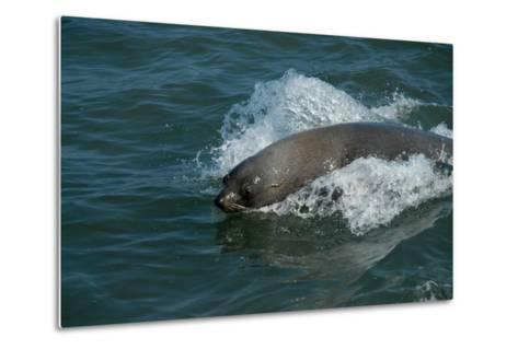 Cape Fur Seal in the Sea, Swakopmund Town, Namibia-Anne Keiser-Metal Print