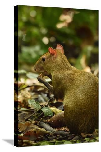 A Central American Agouti Foraging for Food on Barro Colorado Island-Jonathan Kingston-Stretched Canvas Print