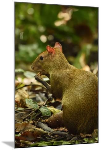 A Central American Agouti Foraging for Food on Barro Colorado Island-Jonathan Kingston-Mounted Photographic Print