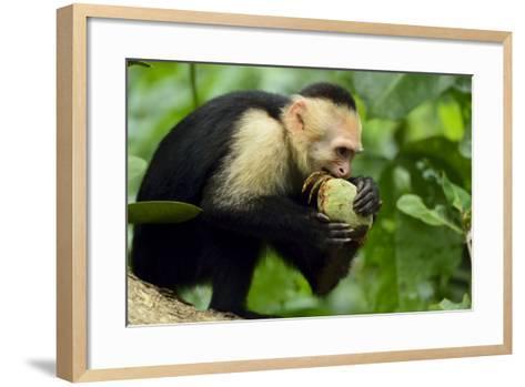 A White-Faced Capuchin Monkey Eats an Unripe Mango in Manuel Antonio National Park-Jonathan Kingston-Framed Art Print