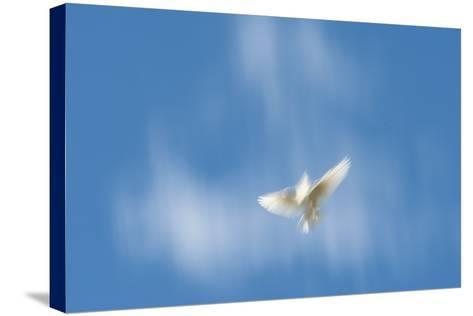 Blurred Wings of a White Pigeon in Flight Against a Blue Sky on Molokai, Hawaii-Jonathan Kingston-Stretched Canvas Print