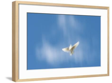 Blurred Wings of a White Pigeon in Flight Against a Blue Sky on Molokai, Hawaii-Jonathan Kingston-Framed Art Print