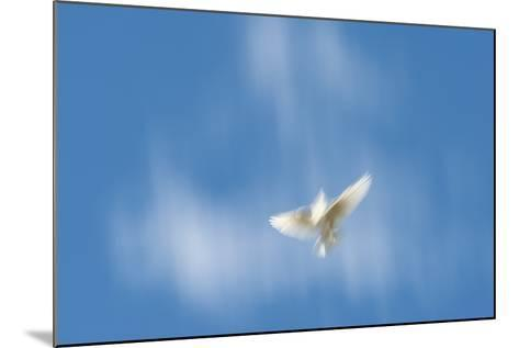 Blurred Wings of a White Pigeon in Flight Against a Blue Sky on Molokai, Hawaii-Jonathan Kingston-Mounted Photographic Print
