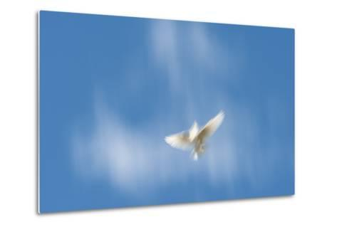 Blurred Wings of a White Pigeon in Flight Against a Blue Sky on Molokai, Hawaii-Jonathan Kingston-Metal Print