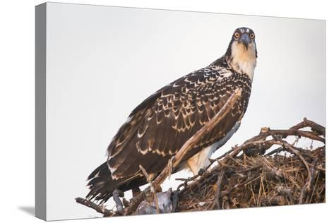 A Juvenile Osprey on a Nest at Sunset on the Occoquan River in Northern Virginia-Kent Kobersteen-Stretched Canvas Print