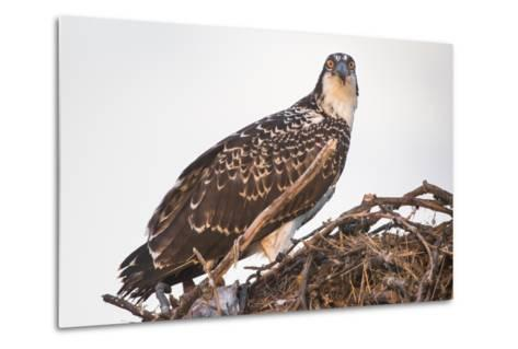 A Juvenile Osprey on a Nest at Sunset on the Occoquan River in Northern Virginia-Kent Kobersteen-Metal Print