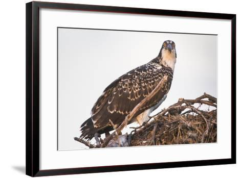 A Juvenile Osprey on a Nest at Sunset on the Occoquan River in Northern Virginia-Kent Kobersteen-Framed Art Print