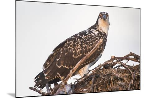 A Juvenile Osprey on a Nest at Sunset on the Occoquan River in Northern Virginia-Kent Kobersteen-Mounted Photographic Print