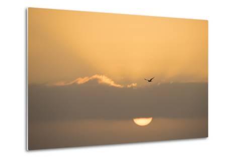 A Caspian Tern, Sterna Caspia, in Flight at Sunrise-Michael Melford-Metal Print