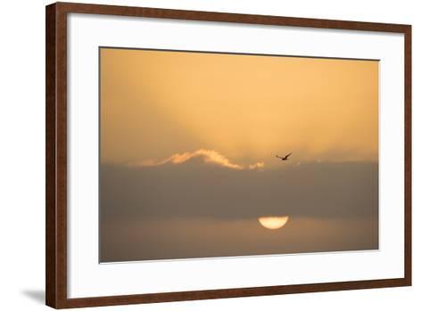 A Caspian Tern, Sterna Caspia, in Flight at Sunrise-Michael Melford-Framed Art Print
