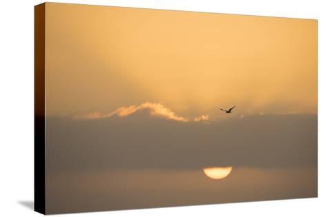 A Caspian Tern, Sterna Caspia, in Flight at Sunrise-Michael Melford-Stretched Canvas Print