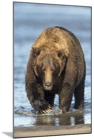 Brown Bear Wading in Water at Silver Salmon Creek Lodge in Lake Clark National Park-Charles Smith-Mounted Photographic Print