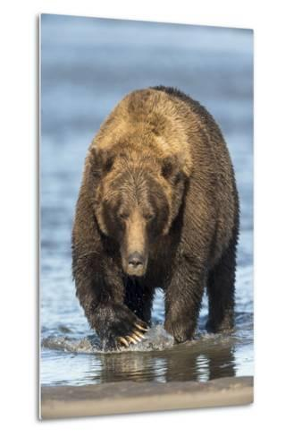Brown Bear Wading in Water at Silver Salmon Creek Lodge in Lake Clark National Park-Charles Smith-Metal Print