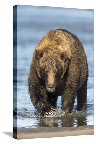 Brown Bear Wading in Water at Silver Salmon Creek Lodge in Lake Clark National Park-Charles Smith-Stretched Canvas Print