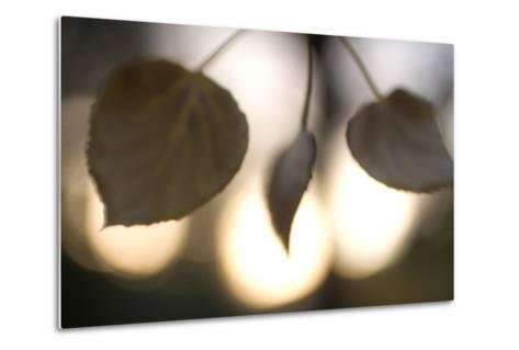Close-Up of Aspen Leaves in Autumn in the Mono Basin National Forest Scenic Area-Philip Schermeister-Metal Print