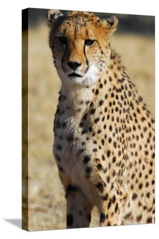 Close-Up of a Cheetah, the Cheetah Conservation Fund, Namibia-Anne Keiser-Stretched Canvas Print