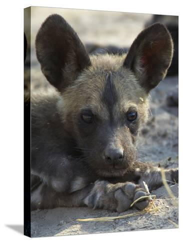 A Close-Up of an African Wild Dog Pup, Lycaon Pictus-Beverly Joubert-Stretched Canvas Print
