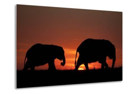 The Silhouette of Two African Elephants Grazing Against Dramatic Sky During Sunset-Beverly Joubert-Metal Print