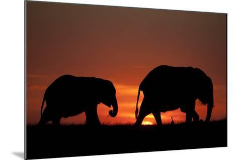 The Silhouette of Two African Elephants Grazing Against Dramatic Sky During Sunset-Beverly Joubert-Mounted Photographic Print