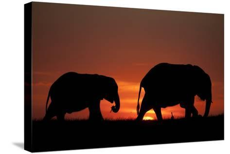 The Silhouette of Two African Elephants Grazing Against Dramatic Sky During Sunset-Beverly Joubert-Stretched Canvas Print