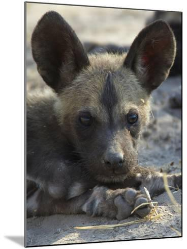 A Close-Up of an African Wild Dog Pup, Lycaon Pictus-Beverly Joubert-Mounted Photographic Print
