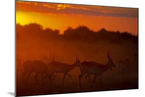 Silhouette of Lechwe, Kobus Leche, in the Early Morning Light-Beverly Joubert-Mounted Photographic Print