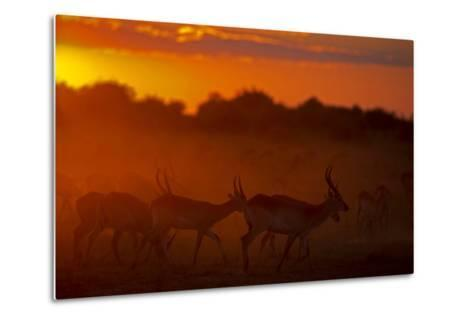 Silhouette of Lechwe, Kobus Leche, in the Early Morning Light-Beverly Joubert-Metal Print