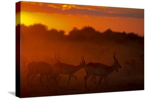 Silhouette of Lechwe, Kobus Leche, in the Early Morning Light-Beverly Joubert-Stretched Canvas Print