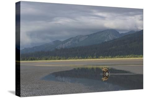 Brown Bear, Ursus Arctos, at Silver Salmon Creek Lodge in Lake Clark National Park-Charles Smith-Stretched Canvas Print