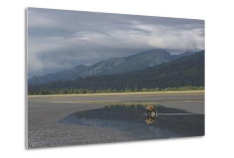 Brown Bear, Ursus Arctos, at Silver Salmon Creek Lodge in Lake Clark National Park-Charles Smith-Metal Print